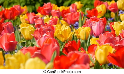 Picturesque beautiful colorful red and yellow tulips flowers...