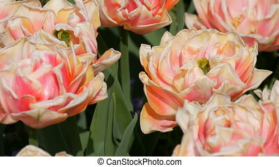 Picturesque beautiful delightful pink and white peony tulips...
