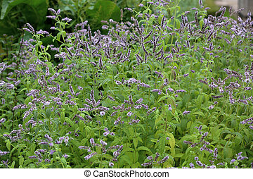Picturesque bloom of bright flowers of long-leaf mint