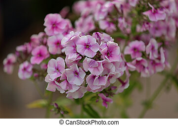 Picturesque bloom of bright phlox flowers