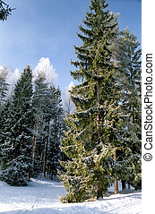 Picturesque fir tree in winter