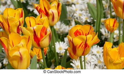 Picturesque interesting yellow tulips flowers bloom