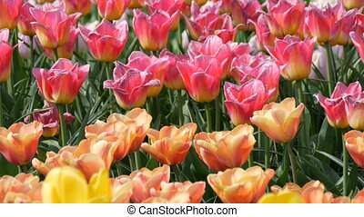 Picturesque mix of multi-colored tulips flowers bloom in...