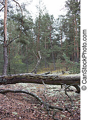 Picturesque old fallen tree trunk in pine forest of Volyn....