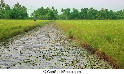 Rice paddy in Kerala Backwaters - Picturesque Rice paddy in...