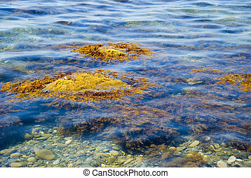 Picturesque sea seaweed in blue transparent water