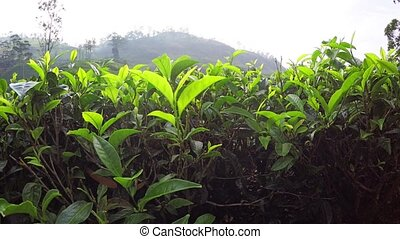 Picturesque View of Tea Plantation with Descending...