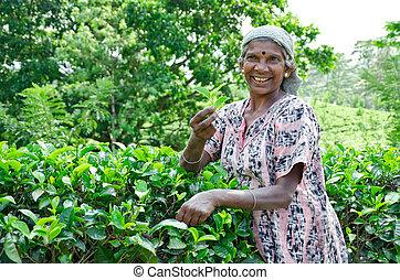 pidurutalagala, 2011., pickers, 8, lanka, diciembre, monte,...