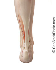 pie, anatomía, muscular