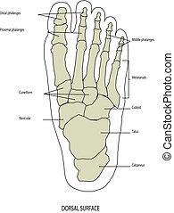 pie, anatomía, pierna, humano