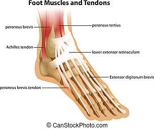 pie, tendones, músculos