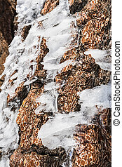 Pieces of ice shaped by wind on a pine tree trunk on top of Mt San Antonio, Los Angeles county, south California