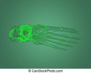 pied, anatomie, rayon x