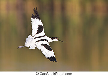 Pied Avocet in flight over shallow water with out of focus ...