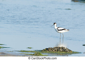 Pied Avocet in mudflat - Pied avocet walking and foraging in...