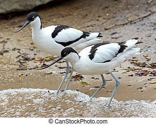 Pied Avocet (Recurvirostra avosetta) - Two Pied Avocets ...