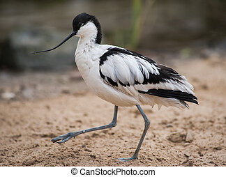 Pied avocet: black and white wader walking on sand