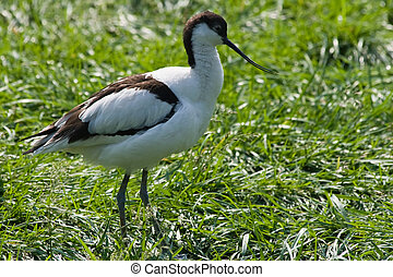 Pied Avocet with long upturned bill, living nearby ...
