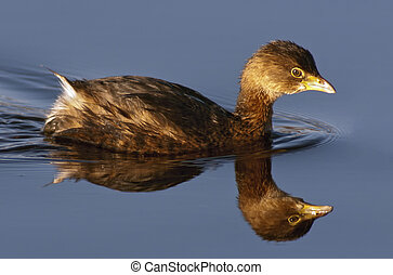 Pied-Billed Grebe (Podilymbus podiceps) on calm blue water with clear mirrored reflection showing winter plumage.