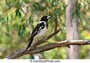 Pied butcherbird male sit on a tree branch in Coombabah Lake...