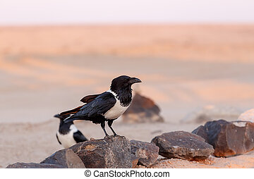 Pied crow in namib desert - beautifull pied crow (Corvus ...