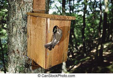 Pied flycatcher, Ficedula hypoleuca, single female at nest ...