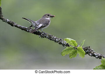 Pied flycatcher, Ficedula hypoleuca, single female on branch...