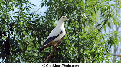Pied Imperial Pigeon (Ducula Bicolor) Perched on a Tree...