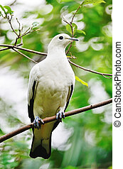 Pied Imperial Pigeon - Beautiful white bird, Pied Imperial...