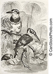 Pied Kingfisher old illustration (Ceryle rudis). Created by...