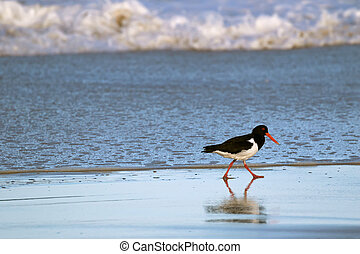 Pied Oystercatcher bird in black white with long red orange ...