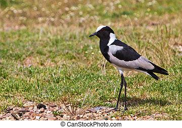 Pied plover bird on the grass