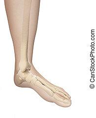 pied, squelettique, anatomie