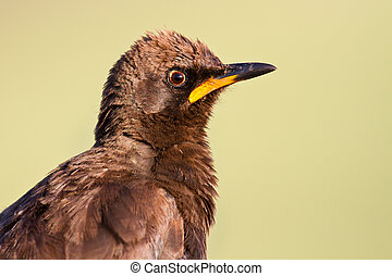 Pied starling closeup portrait