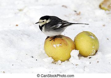 Pied wagtail, Motacilla alba yarrellii, single bird on apples in snow, West Midlands, December 2010