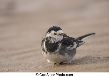 Pied Wagtail, resting, on the beach sand, close up