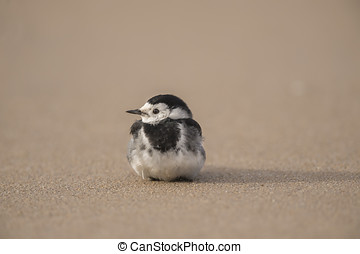 Pied Wagtail, resting, on the beach sand