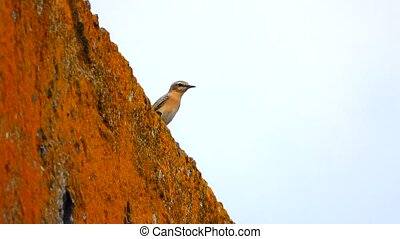 Pied Wheatear on the stone wall