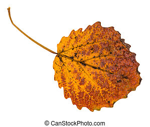 pied yellow fallen leaf of aspen tree isolated