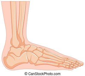 piede, dentro, osso umano