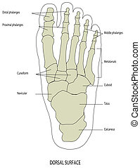 piede, gamba umana, scheletro