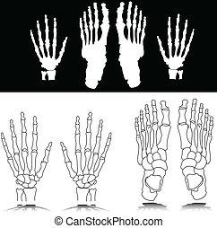 piede, osso, illustrazione, mano