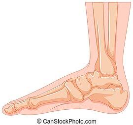 piede umano, osso, fondo, bianco