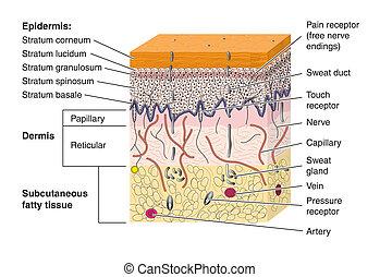 piel, sección transversal