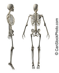 pieno, scheletro, indietro, maschio, vista laterale
