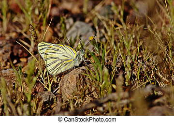 Pieridae Butterfly on the rock with grass background -...
