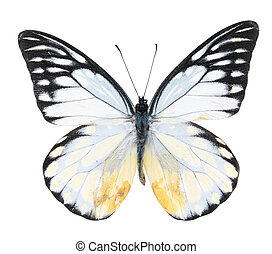 Pieridae:Black and white butterfly isolated on a white...