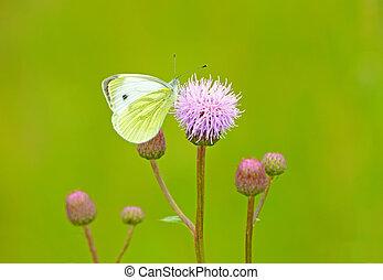 Pieris brassicae butterfly on Cirsium arvense flower