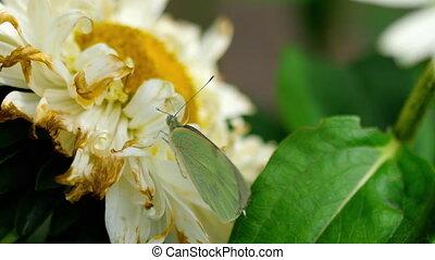 Pieris brassicae white butterfly