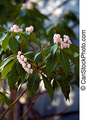 pieris japonica, (andromeda)